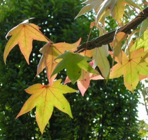 Ken Begg Nursery Sales - Sweet Gum Tree