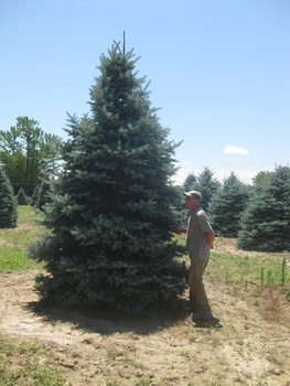 Ken Begg Nursery Sales - Bacheri Blue Spruce