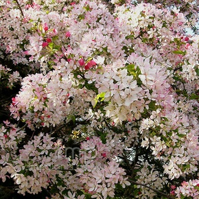 Ken Begg Nursery Sales - Japanese Flowering Crabapple