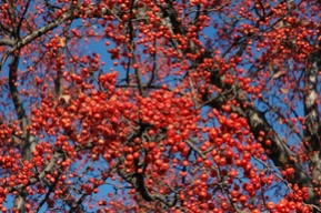 Ken Begg Nursery Sales - Red Splendor Crabapple