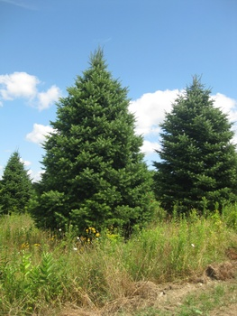 Ken Begg Nursery Sales - Concolor Fir/White Fir
