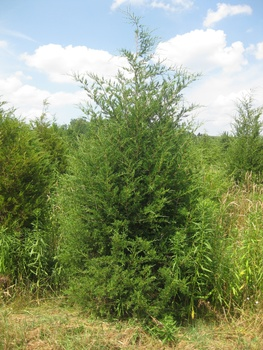 Ken Begg Nursery Sales - Eastern Red Cedar