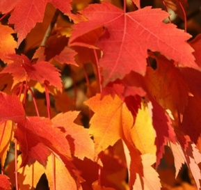 Ken Begg Nursery Sales - Armstrong Maple