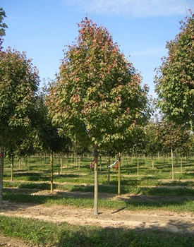 Ken Begg Nursery Sales - Karpick Maple