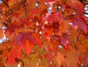 Ken Begg Nursery Sales - Fall Fiesta Maple