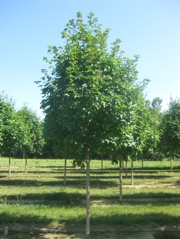Ken Begg Nursery Sales - Green Mountain Maple