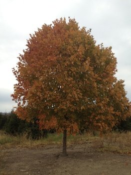 Ken Begg Nursery Sales - Legacy Maple