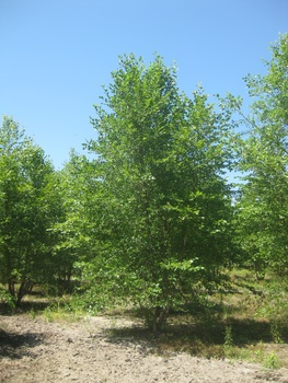 Ken Begg Nursery Sales - River Birch