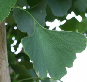 Ken Begg Nursery Sales - Autumn Gold Ginkgo