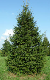 Buy Evergreens in Niagara, Canada